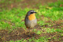 Little Bird - Cape Robin Chat