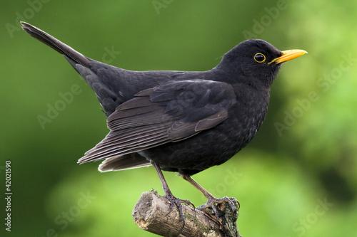Photo Blackbird
