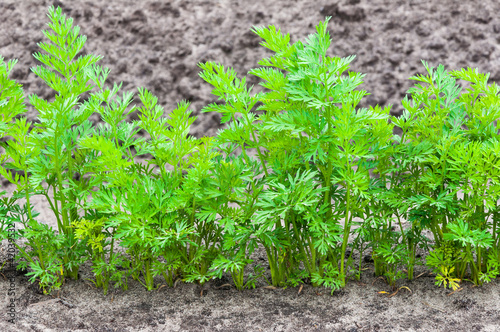 Fotografia, Obraz  Closeup of one row of carrot plants
