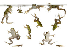 Edible Frogs, Rana Esculenta, And Tadpoles Swimming Under Water