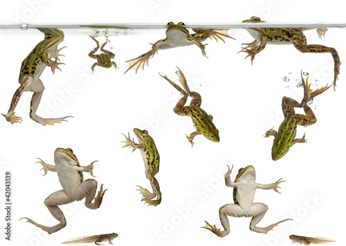 Spoed Foto op Canvas Kikker Edible Frogs, Rana esculenta, and tadpoles swimming under water