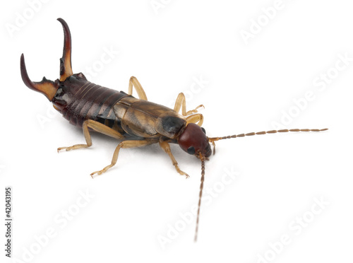 Common earwig or European earwig, Forficula auricularia