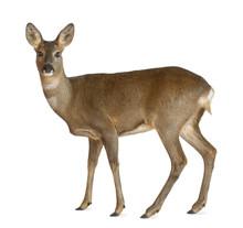 European Roe Deer, Capreolus C...