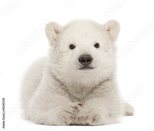 In de dag Ijsbeer Polar bear cub, Ursus maritimus, 3 months old, lying