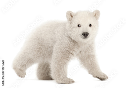 Photo  Polar bear cub, Ursus maritimus, 3 months old