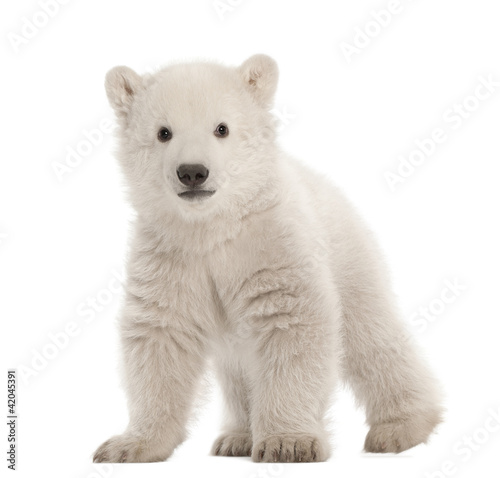 Poster Polar bear Polar bear cub, Ursus maritimus, 3 months old