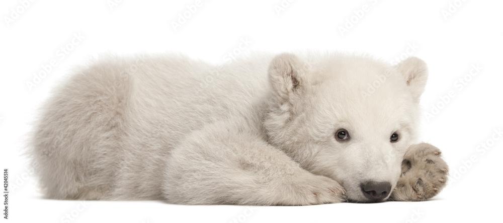 Polar bear cub, Ursus maritimus, 3 months old, lying