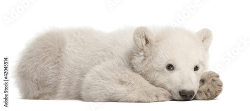 Photo sur Aluminium Ours Blanc Polar bear cub, Ursus maritimus, 3 months old, lying