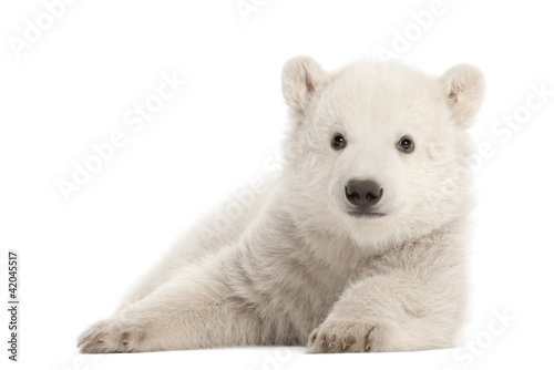Photo sur Toile Ours Blanc Polar bear cub, Ursus maritimus, 3 months old