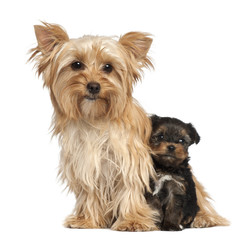 Female Yorkshire Terrier and her puppy sitting