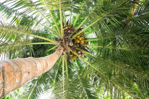 Foto-Lamellen - Kokosnusspalme