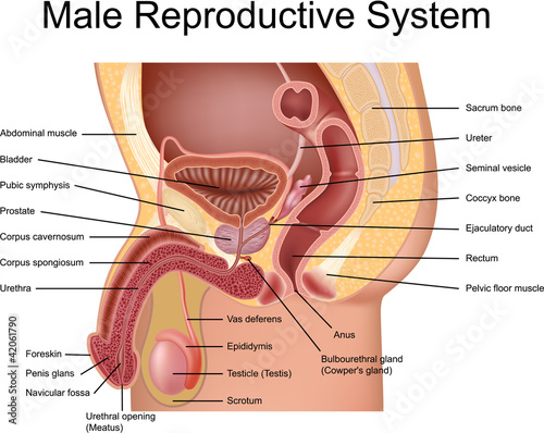 Male Reproductive System cross section view – kaufen Sie diese ...