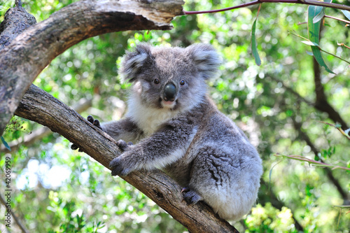 Fotobehang Koala Junger Koala