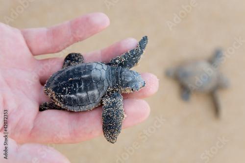 Keuken foto achterwand Schildpad Loggerhead Turtle baby(Caretta carretta)