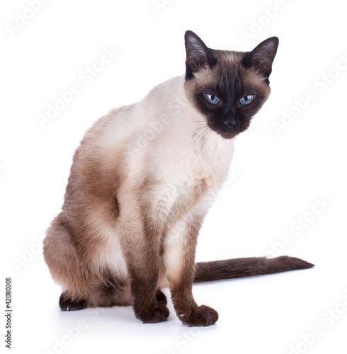 Fotografía  Siamese cat