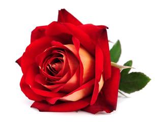 Fototapeta red rose isolated