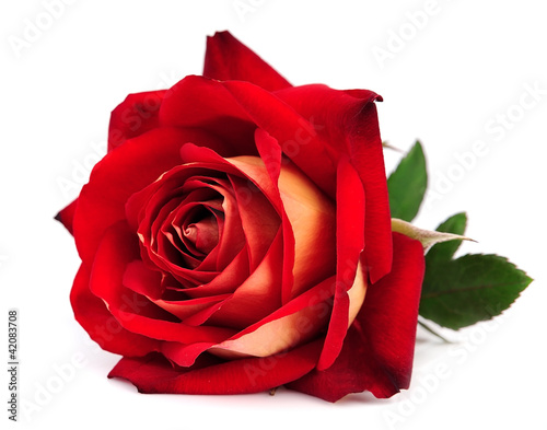 Photo  red rose isolated