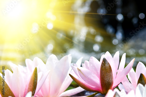 Garden Poster Lotus flower water lily background