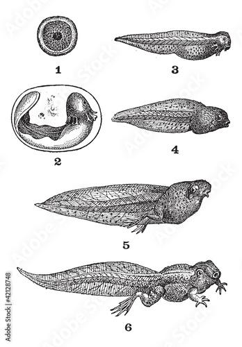 Fotografia, Obraz  Frog tadpoles, vintage engraving.