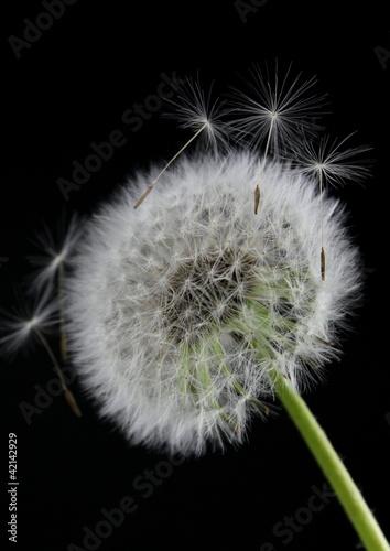 Fototapeta Dandelion flower on  black background obraz na płótnie