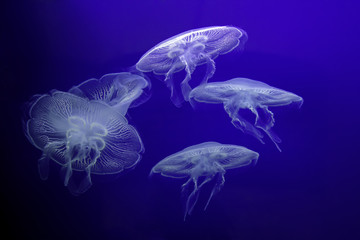Fototapeta Group of light Jellyfish