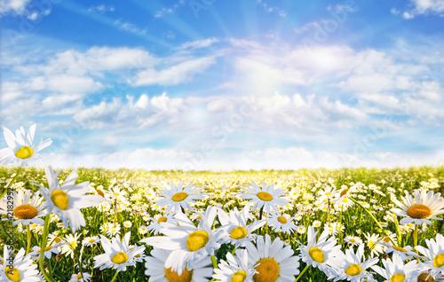 Foto-Schiebegardine ohne Schienensystem - Springtime: field of daisy flowers with blue sky and clouds (von doris oberfrank-list)
