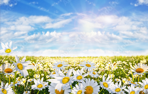Foto-Schiebegardine ohne Schienensystem - Springtime: field of daisy flowers with blue sky and clouds