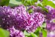 lilac purple flowers