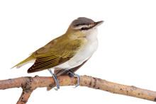 Closeup Of A Female Gold Finch
