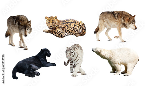 Set of Carnivora mammal. Isolated over white Canvas Print