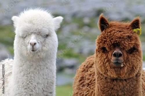 Papiers peints Lama Le lama blanc et lama brun
