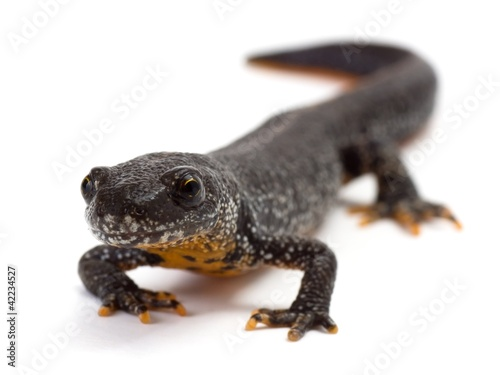 Fotografie, Obraz  Front view of a Great Crested Newt on a white background
