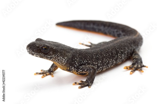 Fotografia, Obraz Great Crested Newt with it's head lifted