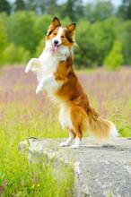 Border Collie Dog Rearing Up O...
