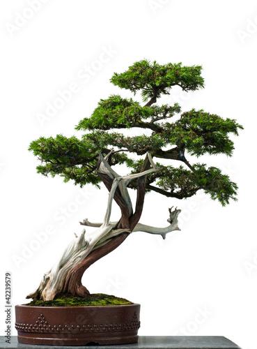 Spoed Fotobehang Bonsai Alter Igel-Wacholder als Bonsai-Baum