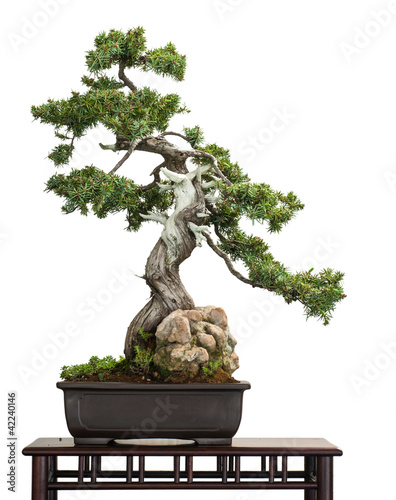 Photo Stands Bonsai Igel-Wacholder (Juniperus rigidus) als Bonsai-Baum