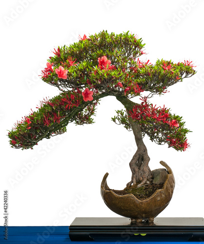 Papiers peints Azalea Rot blühende Azalee als Bonsai-Baum