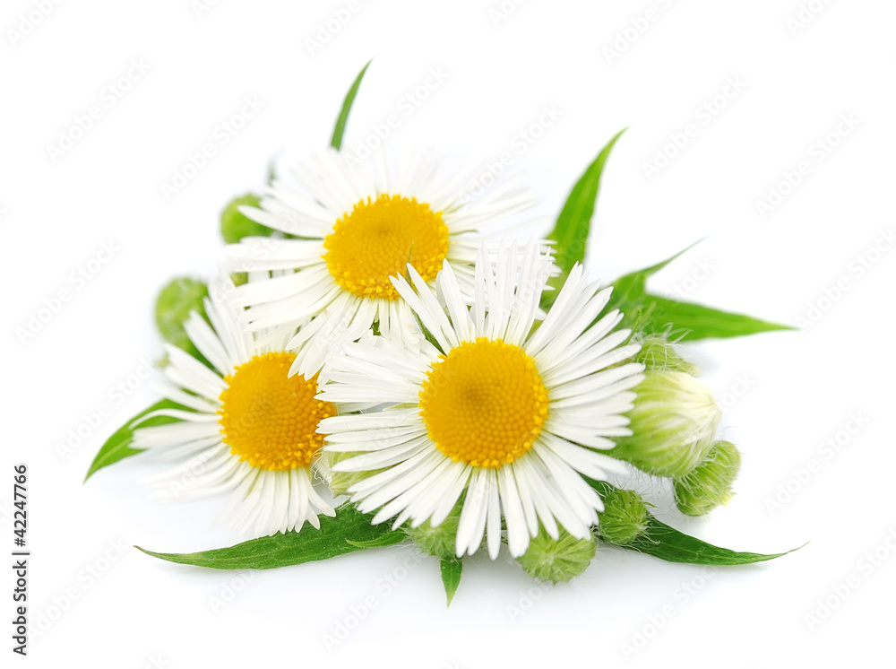Fototapety, obrazy: chamomile with leaves
