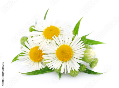 Marguerites chamomile with leaves