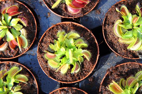 Tableau sur Toile carnivorous plant