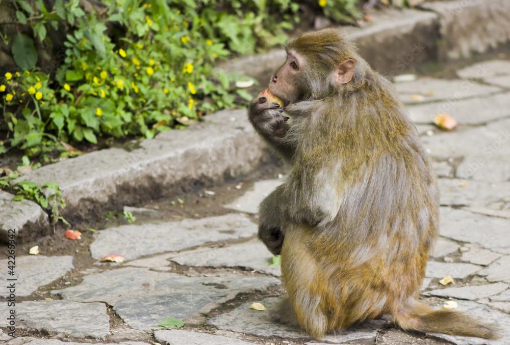 Fényképezés  Wild Monkey Eating Fruit