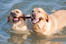 Couple Of Dogs In The Sea With...