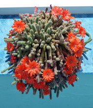 Torch Cactus Blooms Flowers Inside Summerhouse