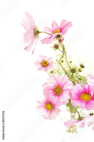 Papiers peints Univers Autumn flower, Pink cosmos with copy space
