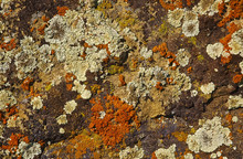 Lichen Covered On Rock
