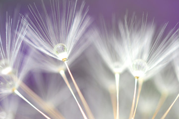 Fototapetawater droplet on dandelion seeds