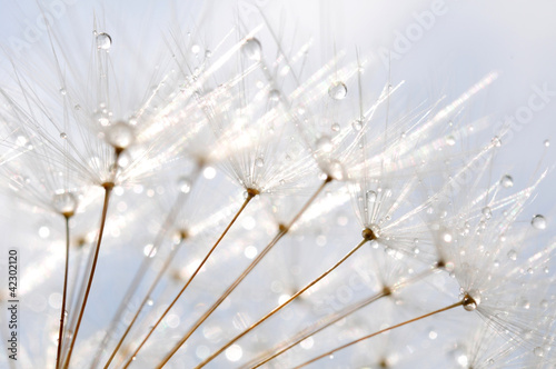 water droplet on dandelion seeds
