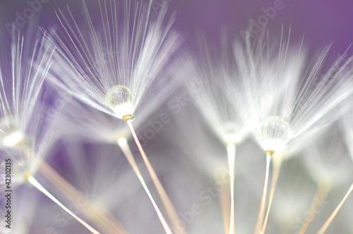 water droplet on dandelion seeds - 42302135