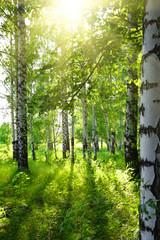Fototapeta summer birch woods with sun
