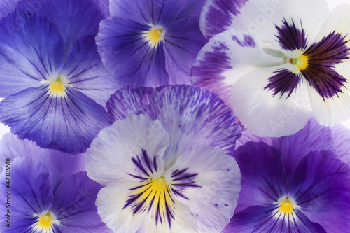 Cadres-photo bureau Pansies pansy